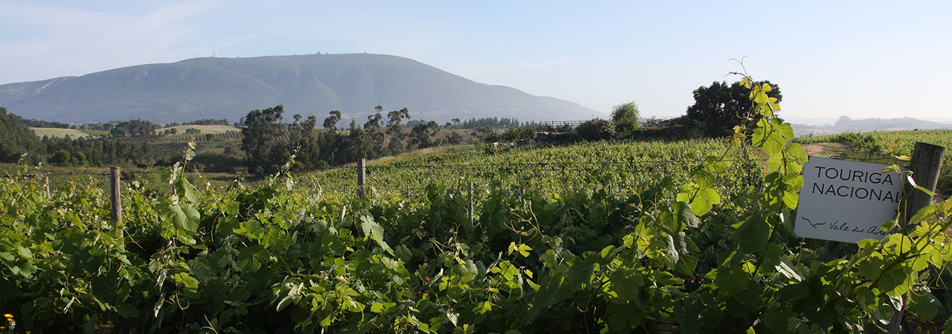 Imagens da nossa vinha